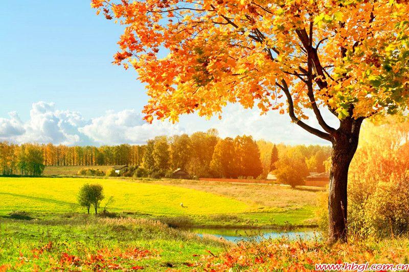 金色似乎也專屬于秋天,那曼妙的楓林之景和那伴著稻香的金色思念